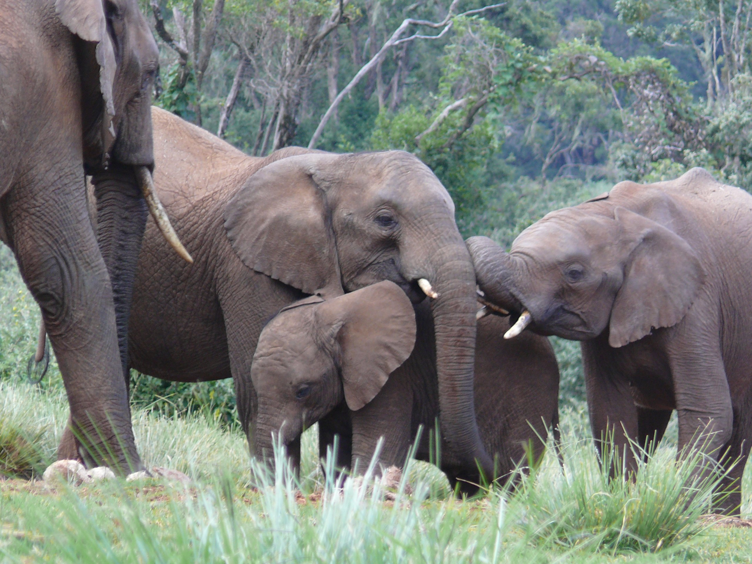 Elephants in Aberdare Mountain National Park. East African Wildlife