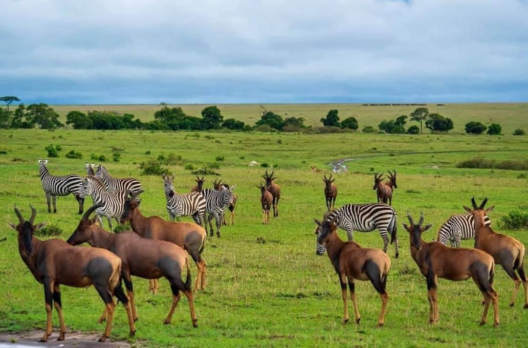 Zebras and Topi in the Plains of Serengeti National Park Tanzania