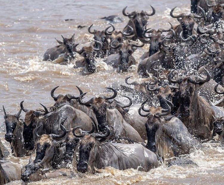 Wildebeest Migration. Tanzania Safari Experiences