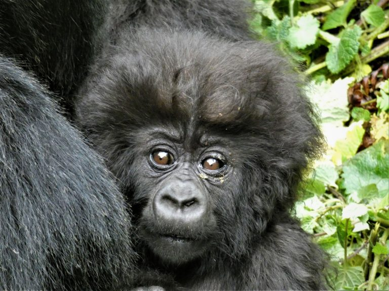 Mountain Gorilla Rwanda. Discounted Mountan Gorilla Permits