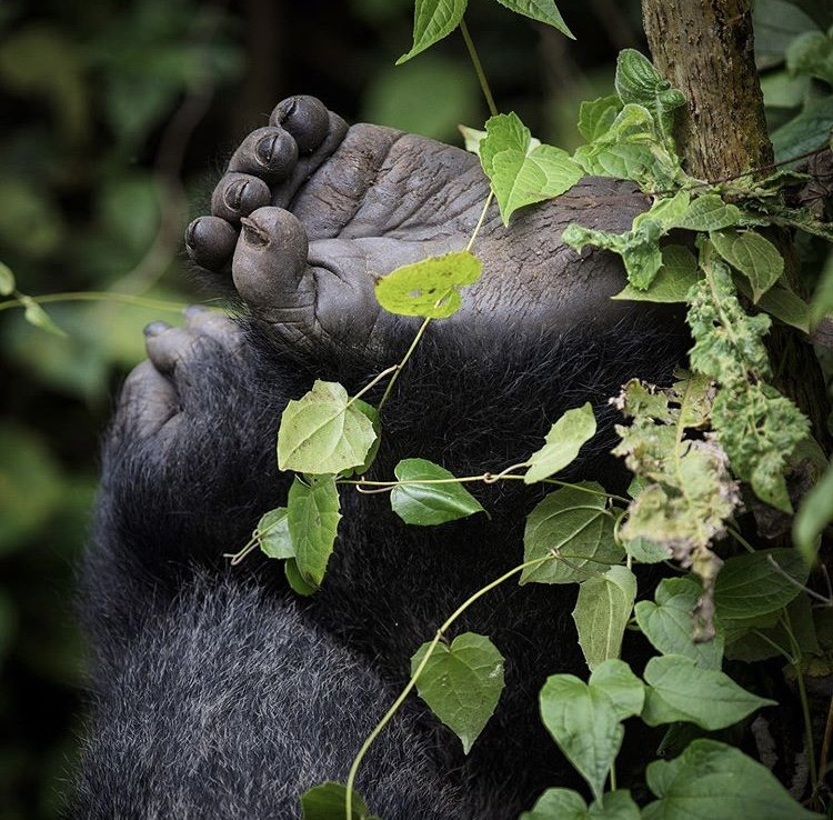 Mountain Gorilla Hand and Foot. Solo Travel Safaris