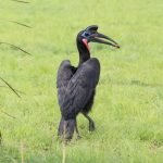 Abysinian Ground Hornbill