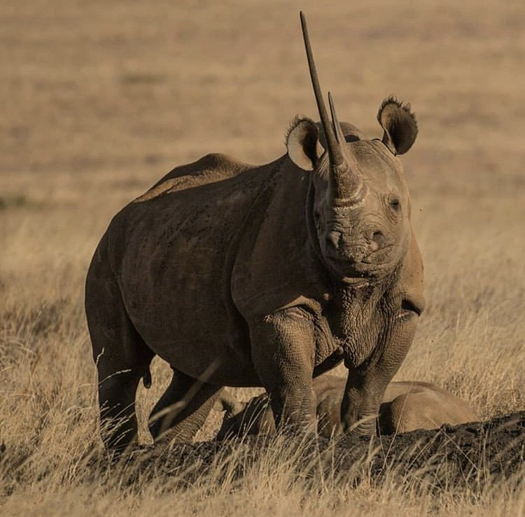 Black Rhino in Lewa Conservancy. Photo by Andreas Fox