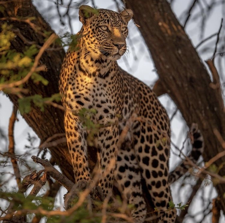 Leopard in Serengeti National Park. Safari Destinations