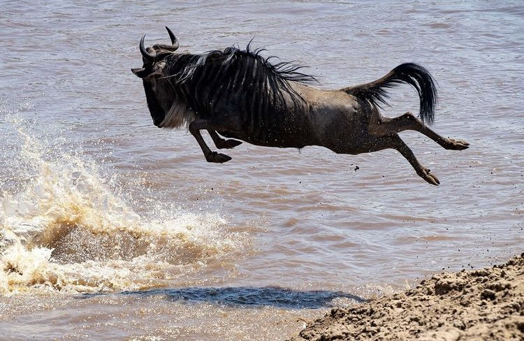 Wildebeest Serengeti Tanzania. Solo Travel East Africa