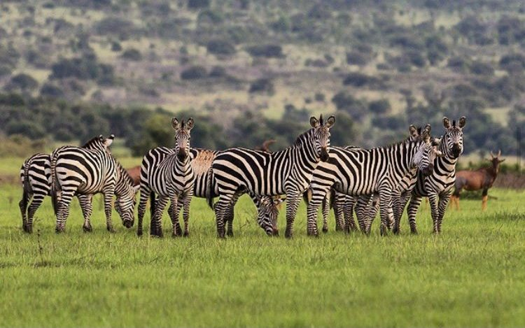 Zebras in Akagera National Park. Beyond Gorilla Safaris, 3 Days Akagera Tour