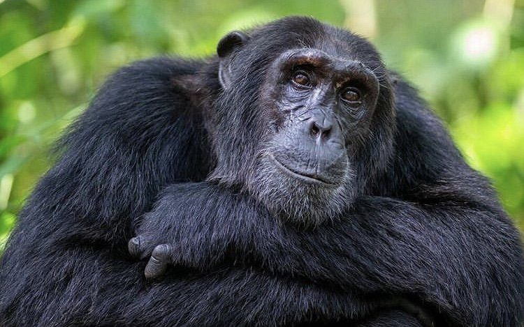 Chimpanzee in Kibale National Park Uganda. 5 Days Uganda Safari.