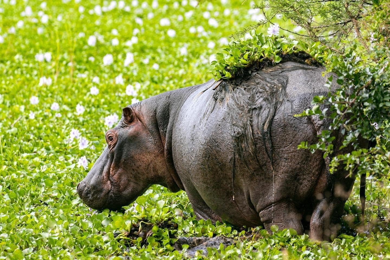 Hippopotamus in Akagera National Park