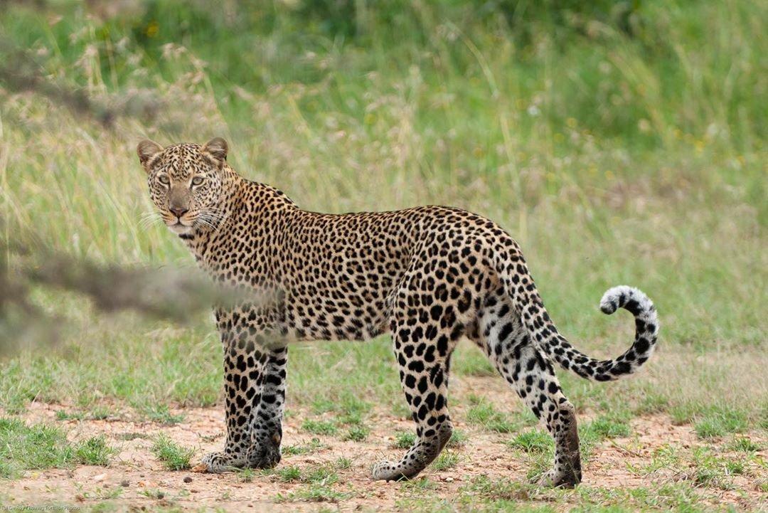 Leopard in Masai Mara Reserve Kenya