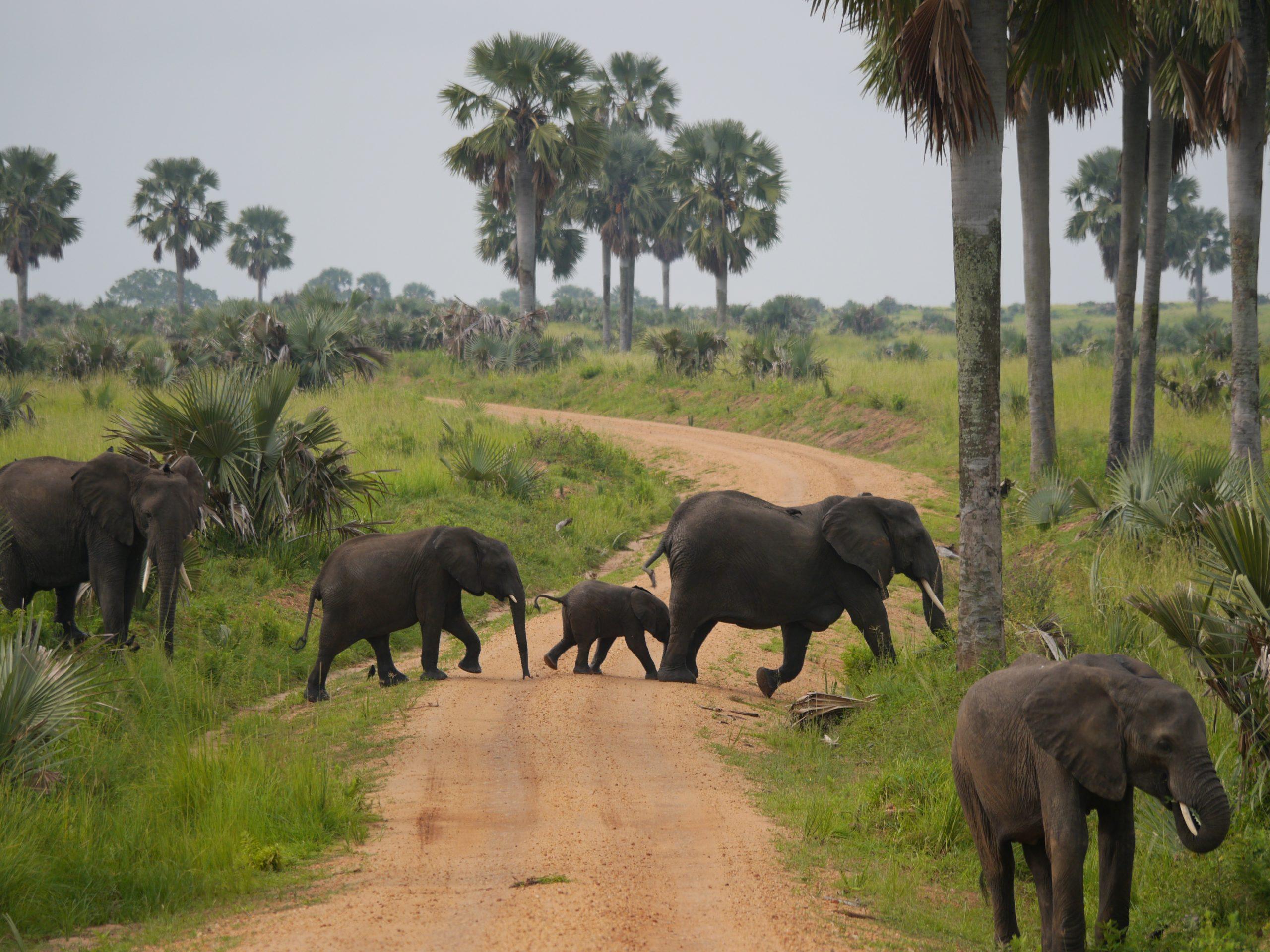 Elephants in Murchison Falls National Park Uganda