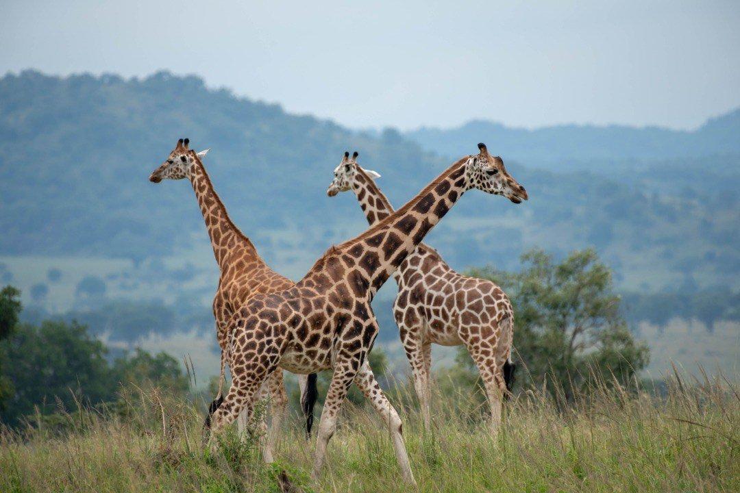 Giraffes in Kidepo Valley NP Uganda Safari