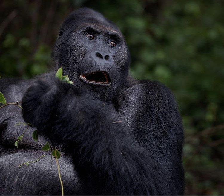 Eastern Lowland Gorillas in Kahuzi Beiga NP DRC