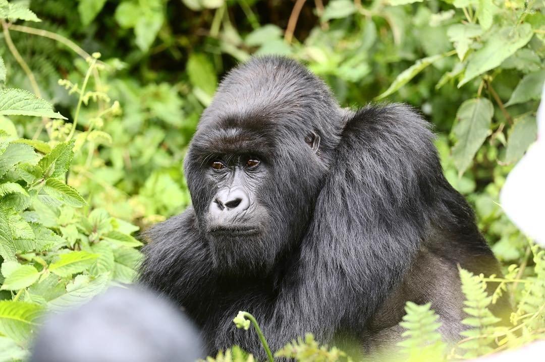 Mountain Gorilla. Rwanda Safari Journeys