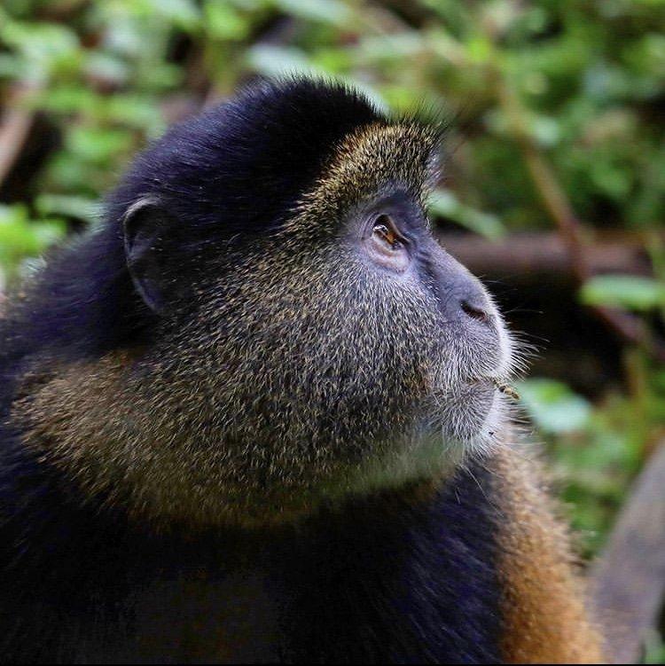 Golden Monkey in Volcanoes National Park. Rwanda Tours