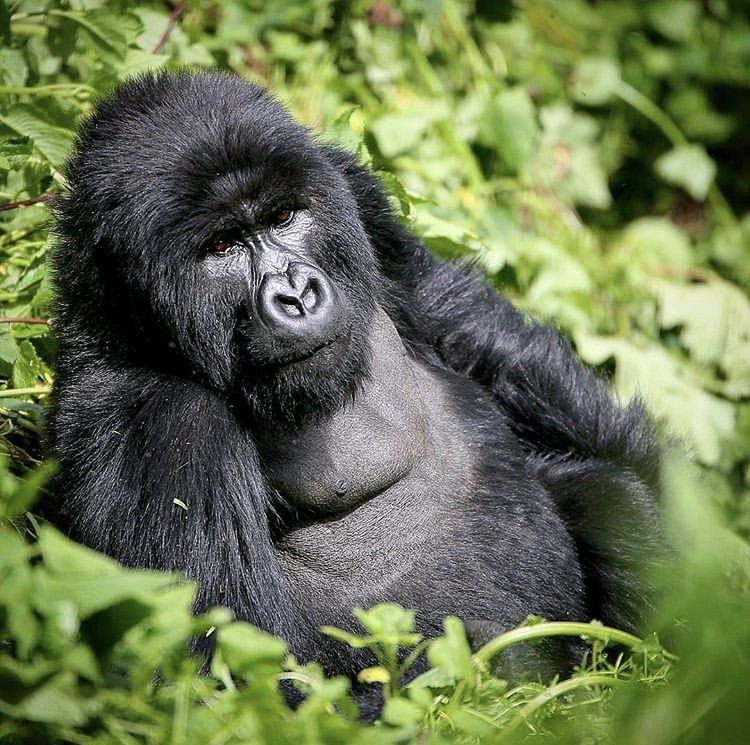 Mountain Gorilla in Virunga National Park Democratic Republic of Congo