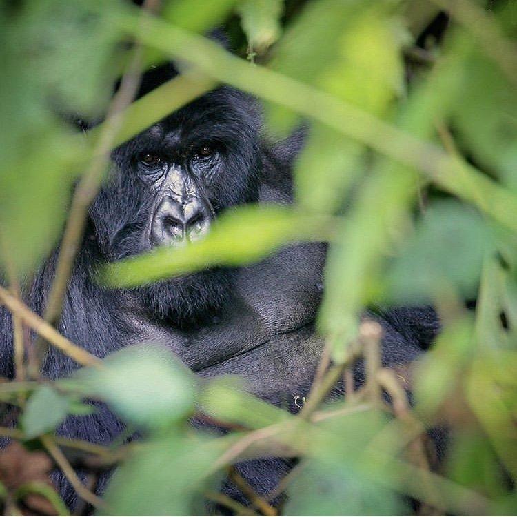 Mountain Gorilla in Democratic Republic of Congo