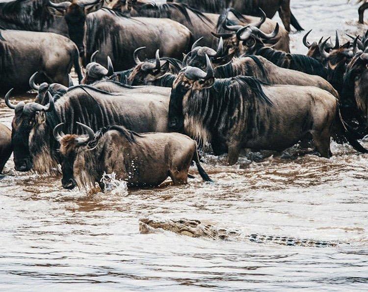 Wildebeest River Crossing