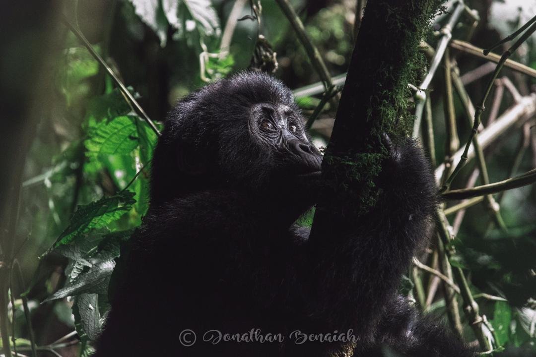Mountain Gorilla in Bwindi. Wildlife Conservation
