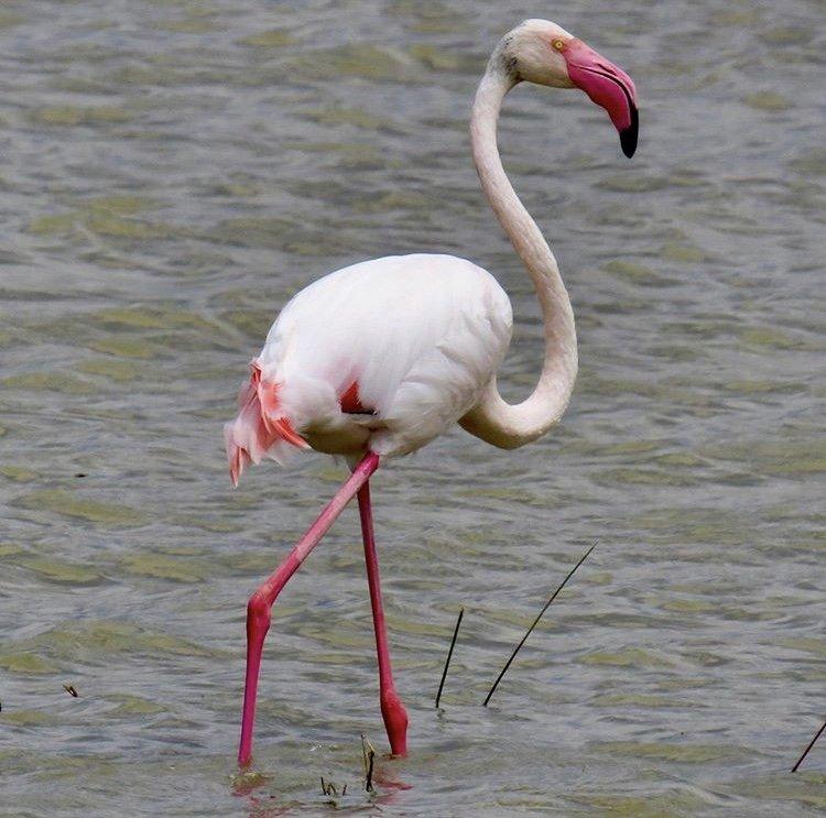 Flamingo in Ngorongoro Crater Tanzania. Birds of East Africa