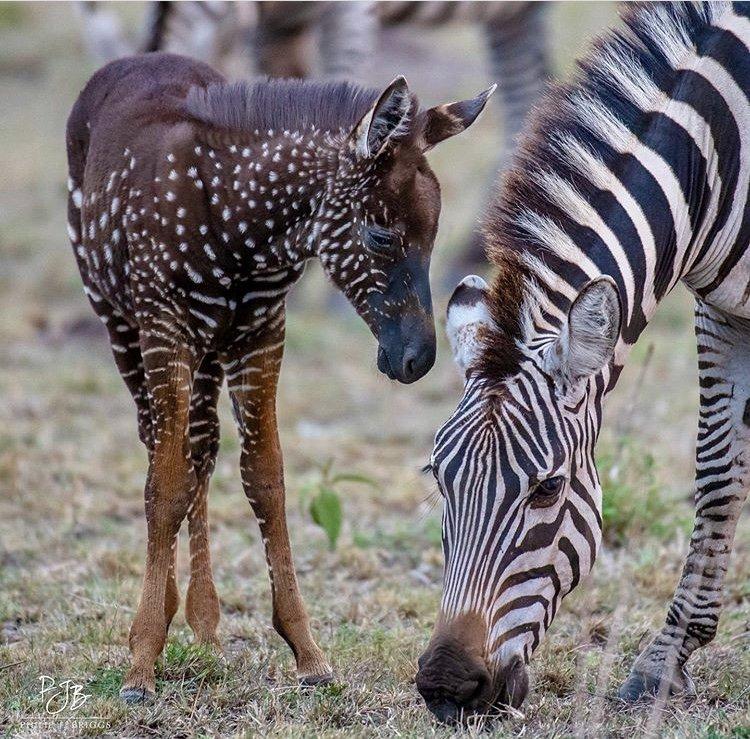 Tira Zebra in Masai Mara Game Reserve. African Safari Holiday Destination