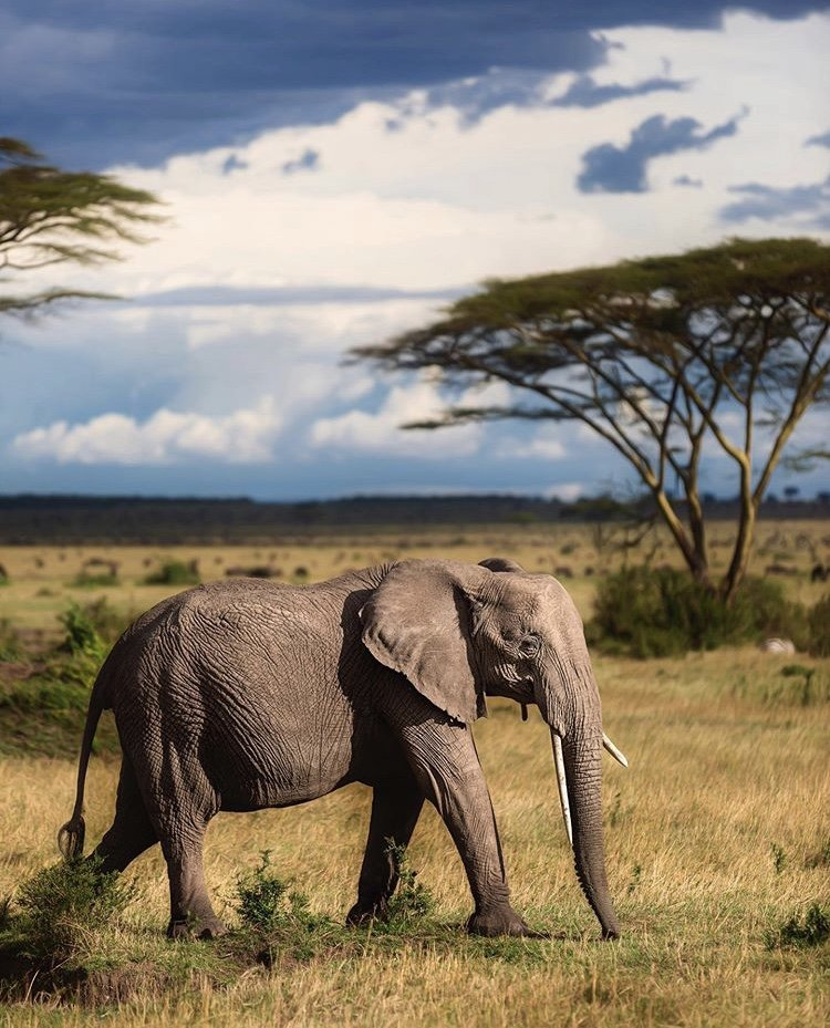 Elephant in Serengeti National Park Tanzania; African Elephants