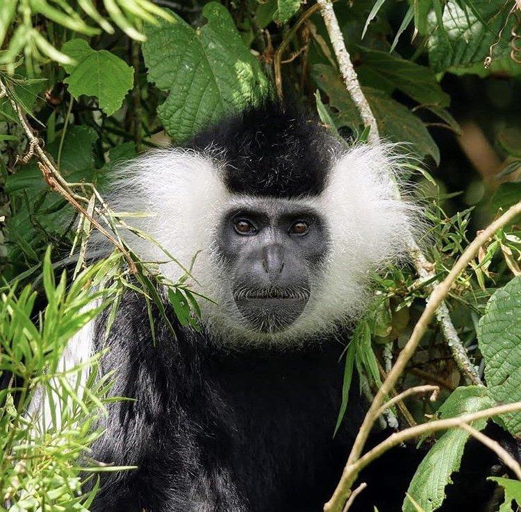 Black & White Colobus Monkey; Nyungwe Forest Rwanda