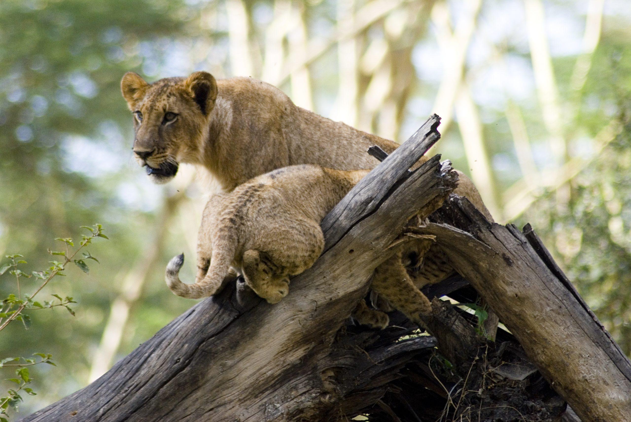 A lioness and a Cub in Lake Nakuru NP. Kenya wildlife safaris