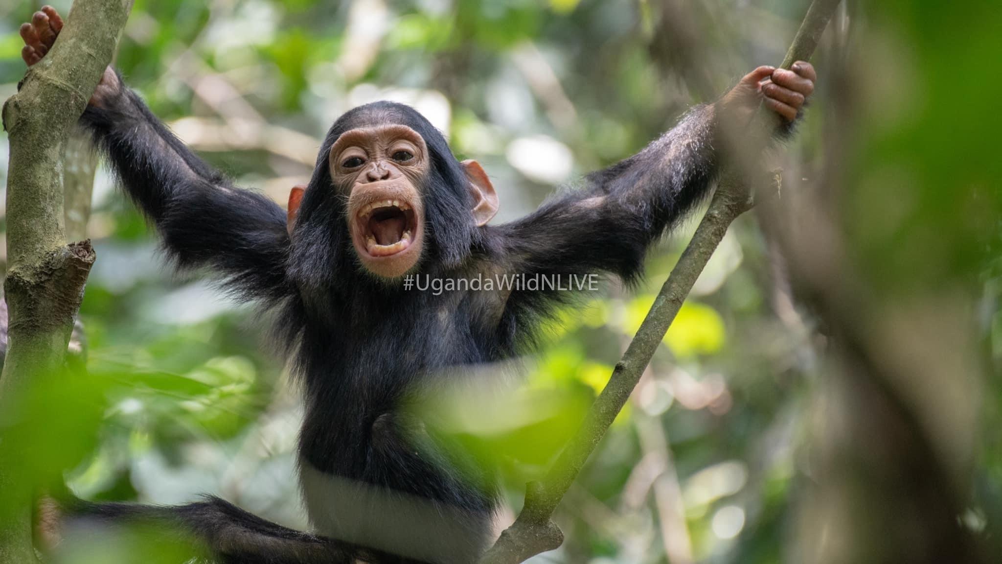 Chimpanzee Kibale Forest National Park Destination Uganda