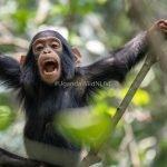Chimpanzee Kibale Forest Uganda