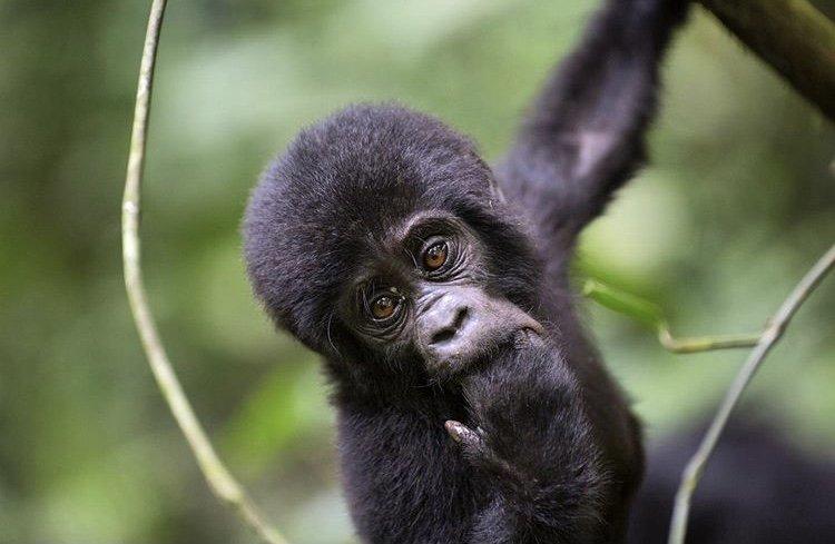 Baby Mountain Gorilla Bwindi Impenetrable National Park Uganda. World Heritage Sites