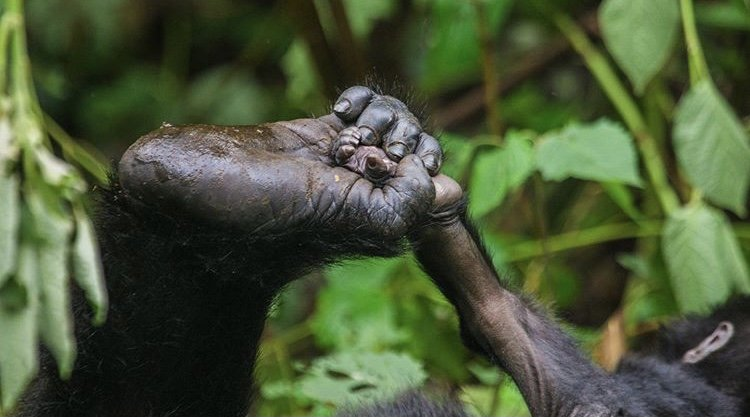 Mountain Gorilla Bwindi Uganda. Mountain Gorilla