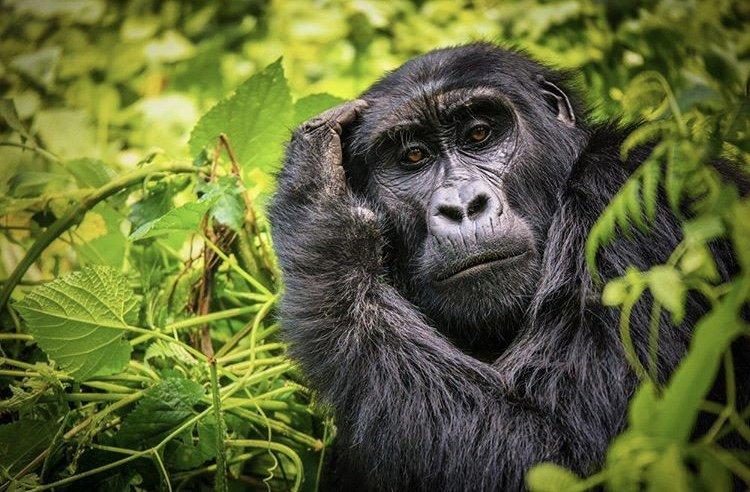 Mountain Gorilla Bwindi Impenetrable National Park