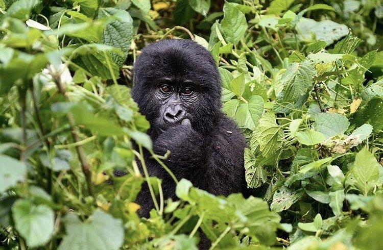 Silverback Mountain Gorilla. Uganda safari