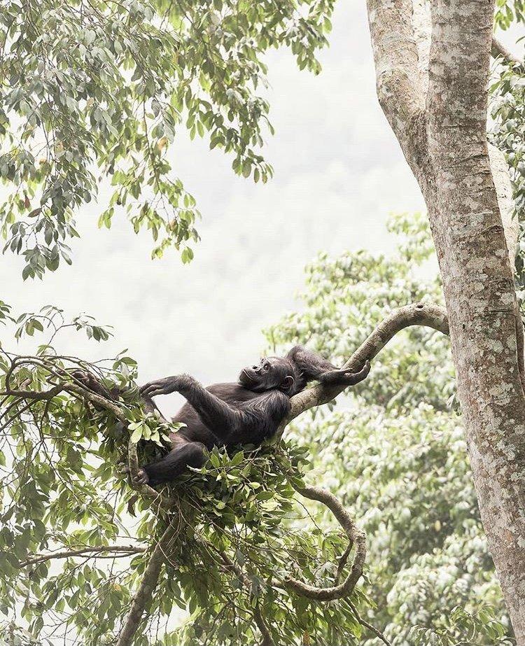 Chimpanzee in Nyungwe National Park Rwanda