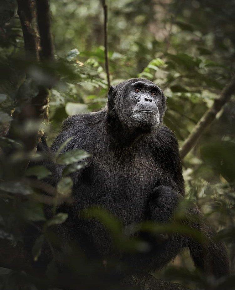 Chimpanzee in Nyungwe National Park. East African safaris