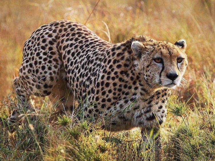 Cheetah Masai Mara. Kenya Tours