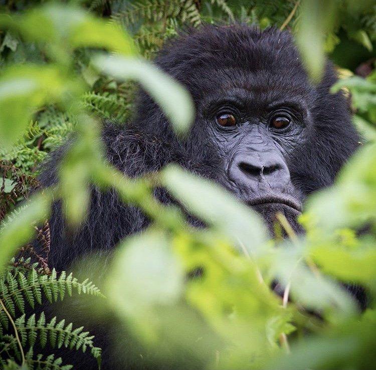 Mountain Gorilla Volcanoes national Park. Rwanda Tours