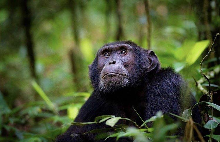 Chimpanzee in Kibale National Park Uganda by Lionel Egger