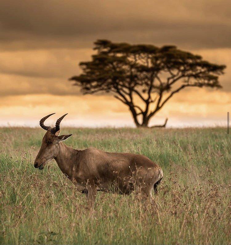 Topi Serengeti National Park Tanzania Safaris by Amandip Panesar