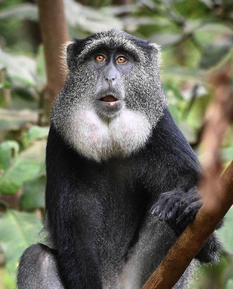 Blue Monkey Lake Manyara National Park by Geraldine Morelli