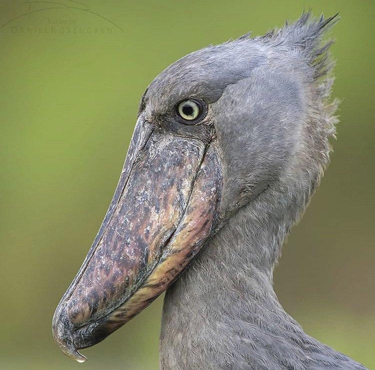 Shoebill Stork, Mabamba Swamp Uganda. Birding Safari