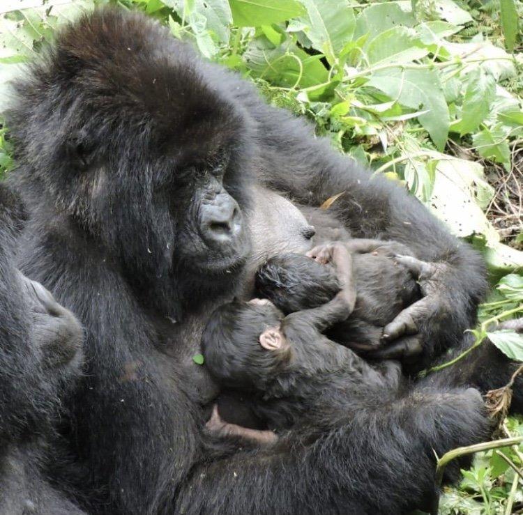 Female Mountain Gorilla with Newly Born Twins. Virunga National Park DRC