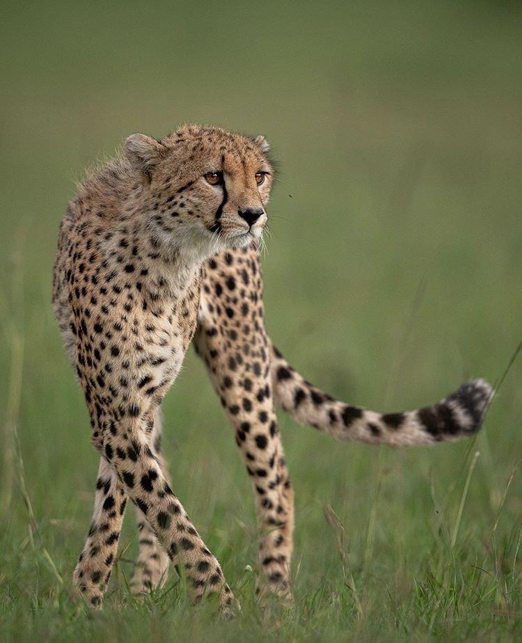 Cheetah in Masai Mara Kenya. Wildlife Tours