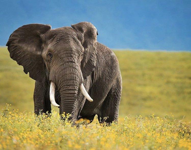 Elephant in Ngorongoro Crater. Tanzania Tours
