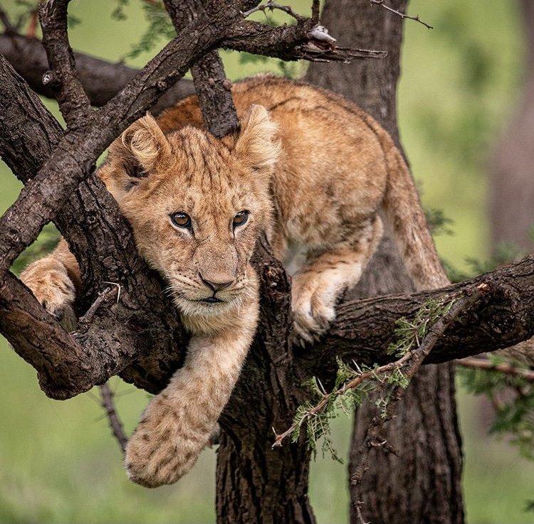 Lion Cub in Olare Motorogi Conservancy Kenya