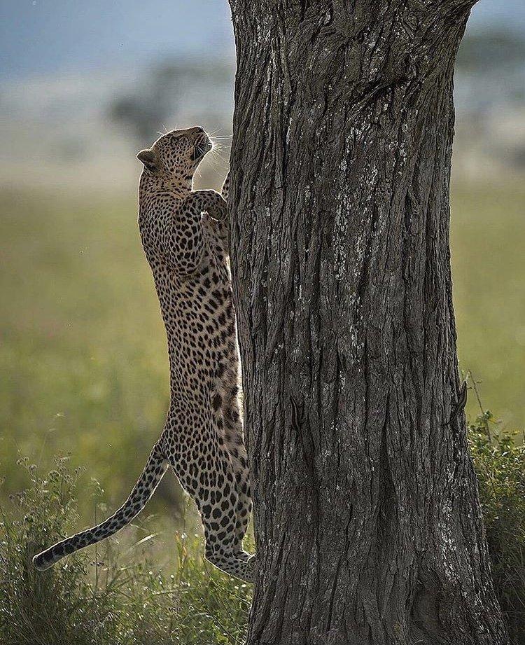 Leopard in Serengeti Tanzania. Photography Safaris