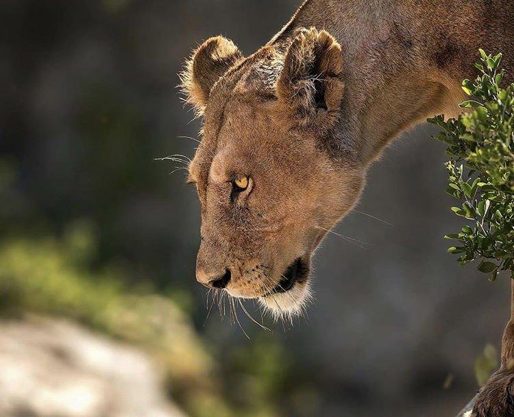 Lioness Serengeti National Park Tour