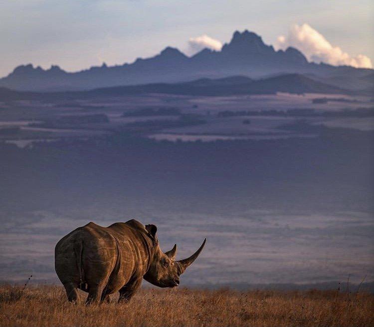 Black Rhino in Lewa Conservancy