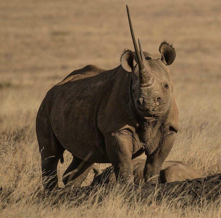 Black Rhino in Lewa Conservancy. Photo by Andreas Fox