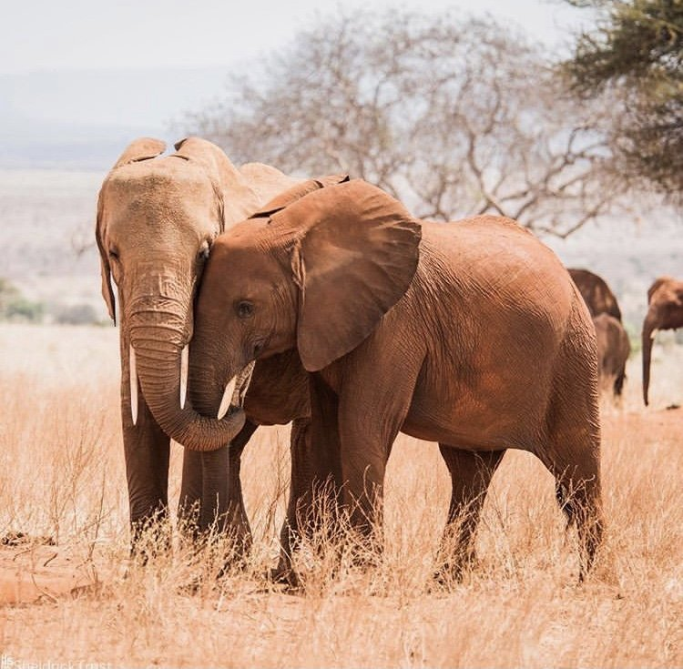 Elephants in Tsavo National Park